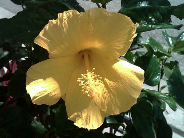 The Yellow Poppy Inspired by Mother Nature, 6.18.11